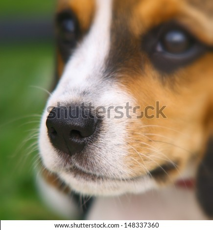Nose of cute Beagle puppy in the grass - stock photo