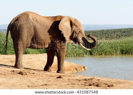 Nose - The African bush elephant is the larger of the two species of African elephant. Both it and the African forest elephant have in the past been classified as a single species. - stock photo
