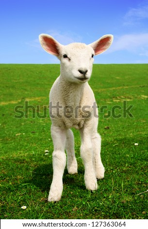 Nosiness Lamb - Photo made in North Germany. - stock photo