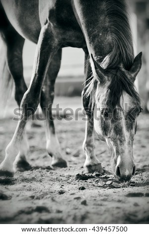 Not a color image of the horse, sniffing the ground. - stock photo