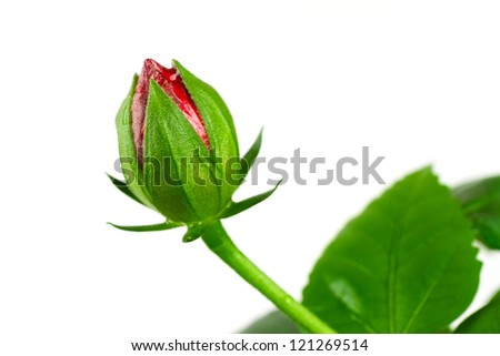 Not a full-blown bud rosa-sinensis on a white background - stock photo