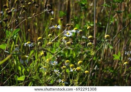not bloomed daisies in the field