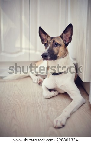 Not purebred domestic dog lies at home on a floor. - stock photo