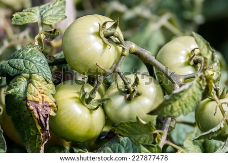 Not ripe tomatoes in the garden  - stock photo