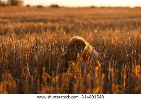 Nova Scotia Duck Tolling Retriever runs on a walk - stock photo