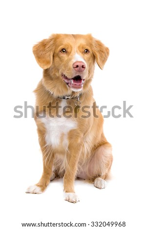 Nova Scotia Duck Tolling Retriever sitting in front of a white background