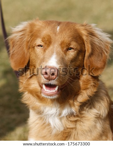 Nova Scotia Duck Tolling Retriever smiling at an obedience meet - stock photo