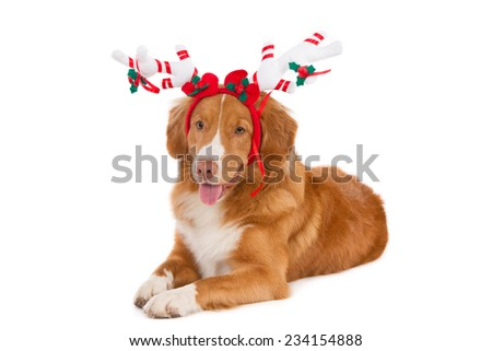 Nova Scotia Duck Tolling Retriever with decorated white Christmas antlers, isolated on white