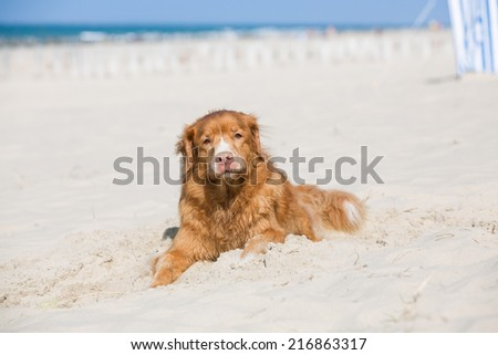 Nova scotia Ducktolling Retriever dog lying in the sand at the beach in Zeeland, Netherlands, on a bright summer day