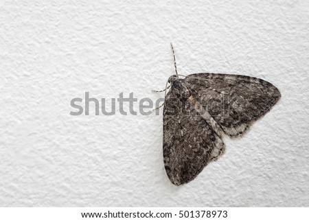 November moth (Epirrita dilutata) at rest on a white wall. A moth that can be found in the Autumn. family Geometridae,