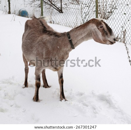 Nubian brown goat standing on white snow