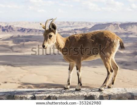 Nubian ibex (Capra Nubiana) at Makhtesh Ramon (Ramon Crater). Negev desert. Israel - stock photo
