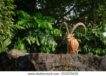 Nubian ibex (Capra nubiana) one male goat animal with big horns on a high stone - stock photo