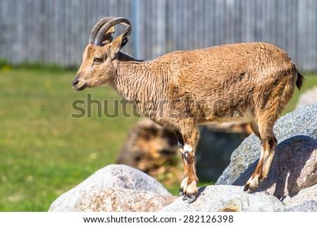 Nubian ibex (goat) female standing on the rock full-body shot - stock photo