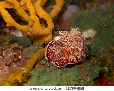 Nudibranch - stock photo