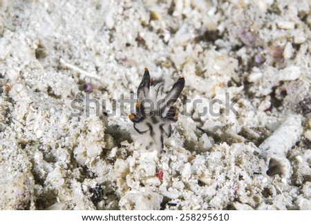 Nudibranch Commodoris crawling very slowly on coral reef of Anilao area, Philippines. - stock photo