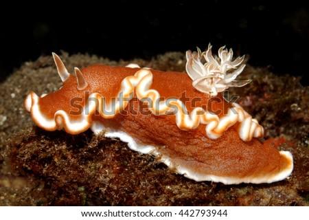 Nudibranch, Glossodoris rufomarginata, commonly called white-margin sea slug or caramel nudibranch. Tulamben, Bali, Indonesia. Bali Sea, Indian Ocean - stock photo