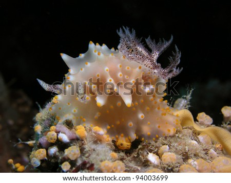 Nudibranch Halgerda iota - stock photo