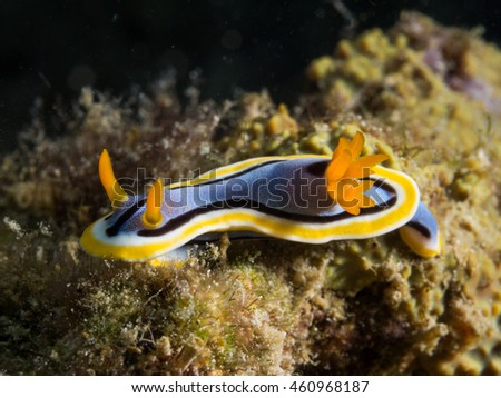 Nudibranch in Anilao Philippines