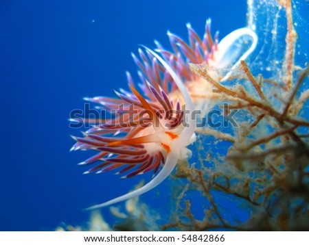 Nudibranch in shallow water - stock photo
