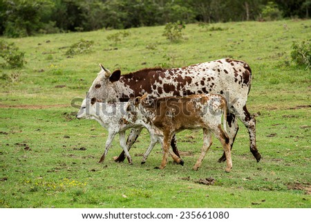Nuguni Cattle and calves in the veld on the ranch Indigenous to South Africa - stock photo