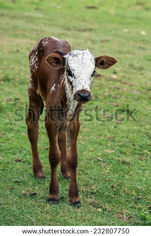 Nuguni Cattle in the veld on the ranch Indigenous to South Africa - stock photo