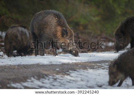 Numerous boars congragate along a forest path to forage