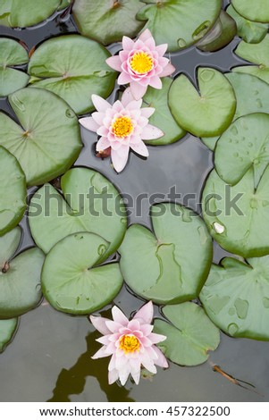 Nuphar flowers- waterlilly