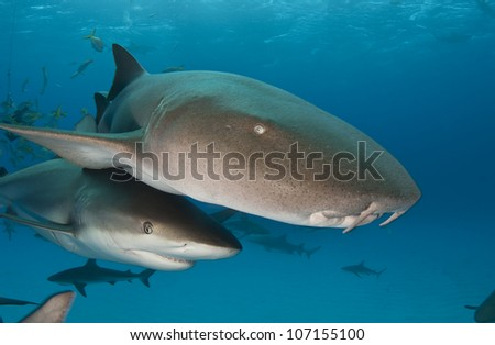 Nurse and Reef Shark - stock photo