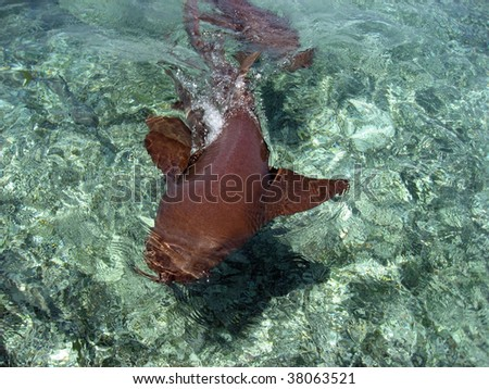 Nurse shark as photographed at Ambergris Caye, Belize