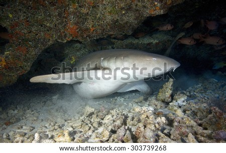 NURSE SHARK MOVING IN A UNDERWATER CAVE ON A FRENCH POLYNESIAN CORAL REEF - stock photo