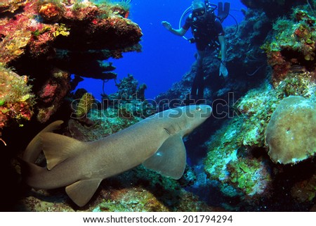 Nurse Shark on the move with Diver, Grand Cayman - stock photo