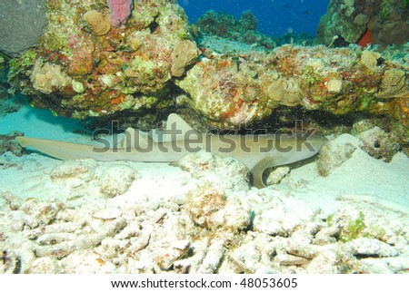 Nurse Shark resting - stock photo