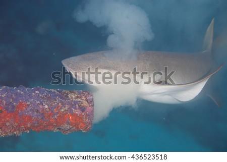 Nurse shark, swimming around underwater pipe that creates polution in the Maldives,Indian Ocean.  - stock photo
