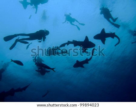 Nurse Sharks with Divers