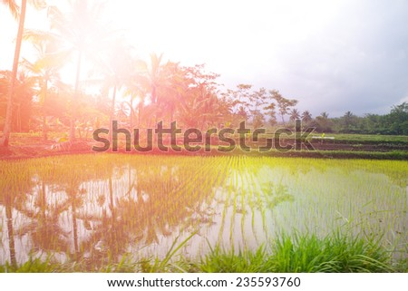 Nursery for young paddy seedling of Indonesia in the early morning light - stock photo