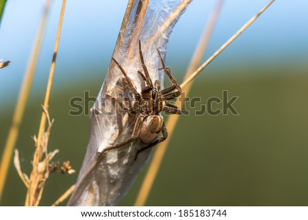 Nursery Spider of the family Pisauridae, Sitting on her Nest - stock photo