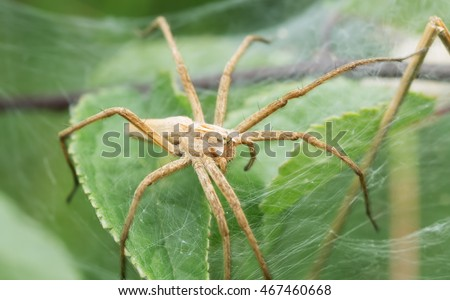 Nursery web spider, Pisaura mirabilis on net