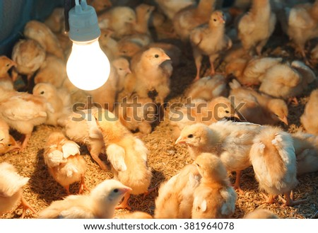 Nurturing young chicks, giving heat by using a light bulb  - stock photo
