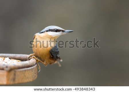 nuthatch isolated on bird feeder