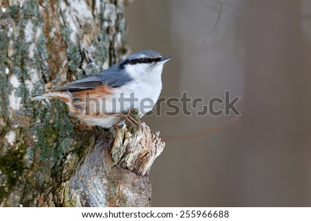Nuthatch on a tree branch, looking for food. Sitta europaea