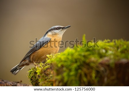 Nuthatch on moss isolated from the background - stock photo