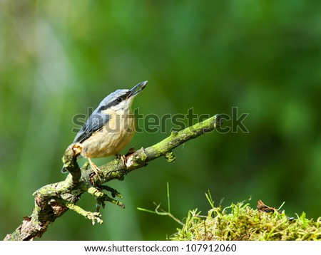 Nuthatch - Sitta europaea - stock photo