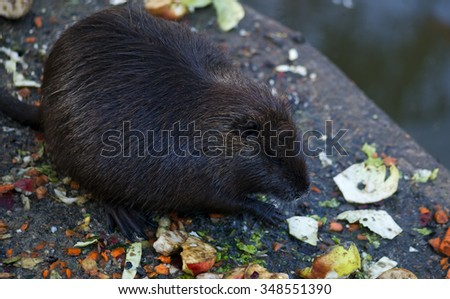 nutria at zoo - captive animal - stock photo