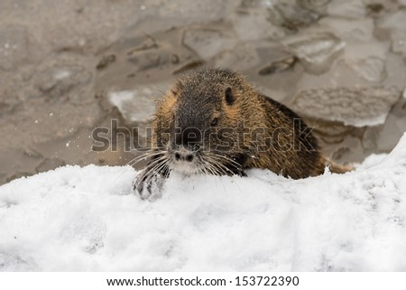 nutria in wintry landscape