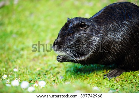 Nutria (Myocastor coypus) - stock photo