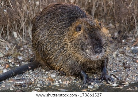 nutria swims in cold water
