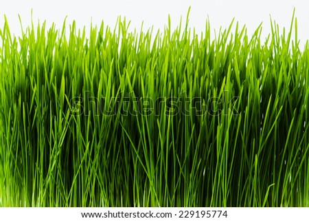 Nutritious homegrown Wheatgrass plants - stock photo