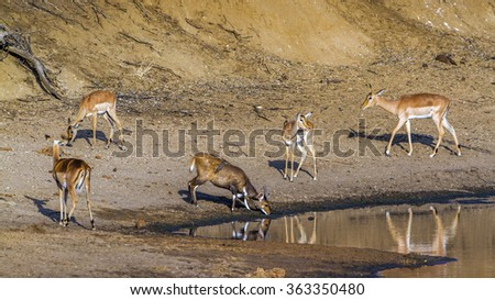Nyala and Impala in Kruger national park, South Africa ; Specie Aepyceros melampus family of bovidae