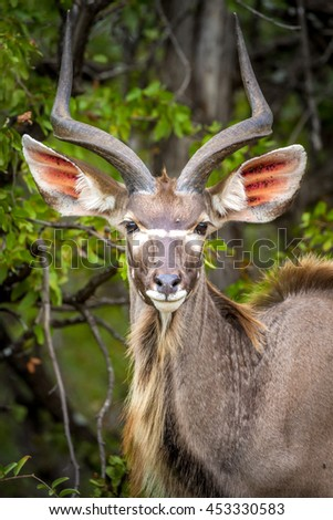 Nyala are some of the largest antelope in Southern Africa.  This is a male.